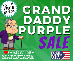 Granddaddy Purps Seeds