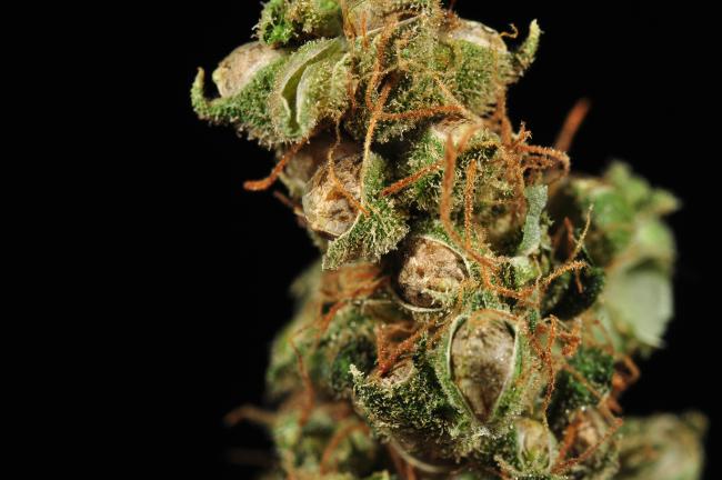 A cannabis nug with seeds