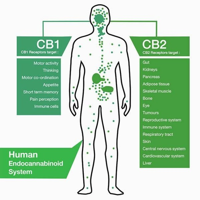 A diagram of the endocannabinoid system on a human showing where the cb1 and cb2 receptors are