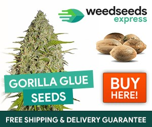 Weedseedsexpress cannabis seeds