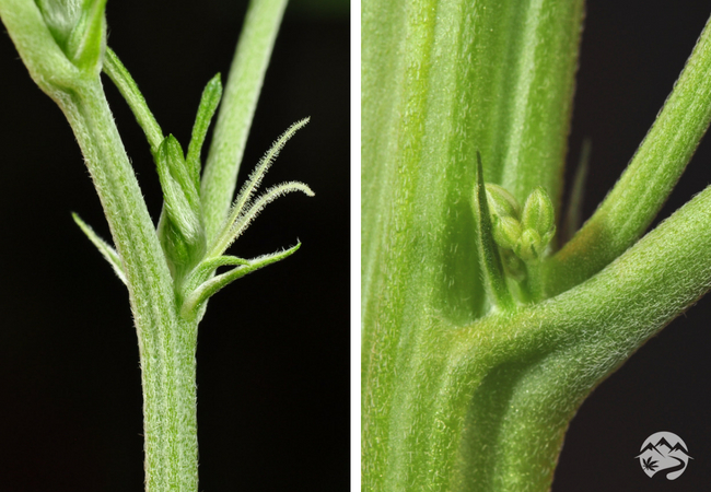 Male/Female Plant Comparison