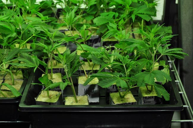 A bunch of clones in a container