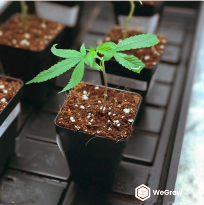 Example of a healthy clone