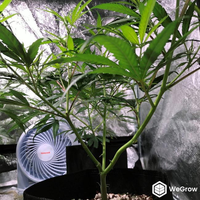 Lollipopping strips away the lower leaves and smaller branches, shifting focus to higher-yielding areas