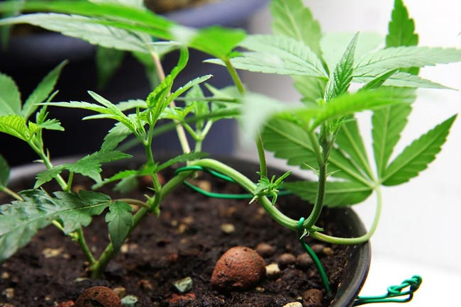 Low-stress training, or LST, is a great way to effectively use your light source