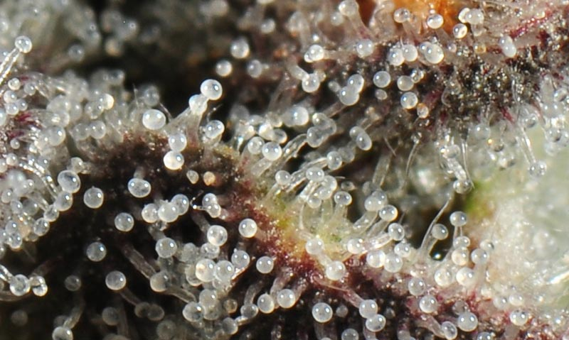 Trichomes under magnification
