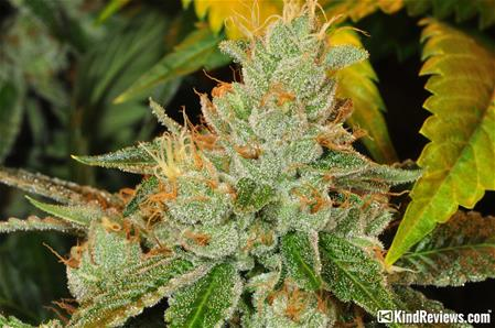 Coal Creek Kush
