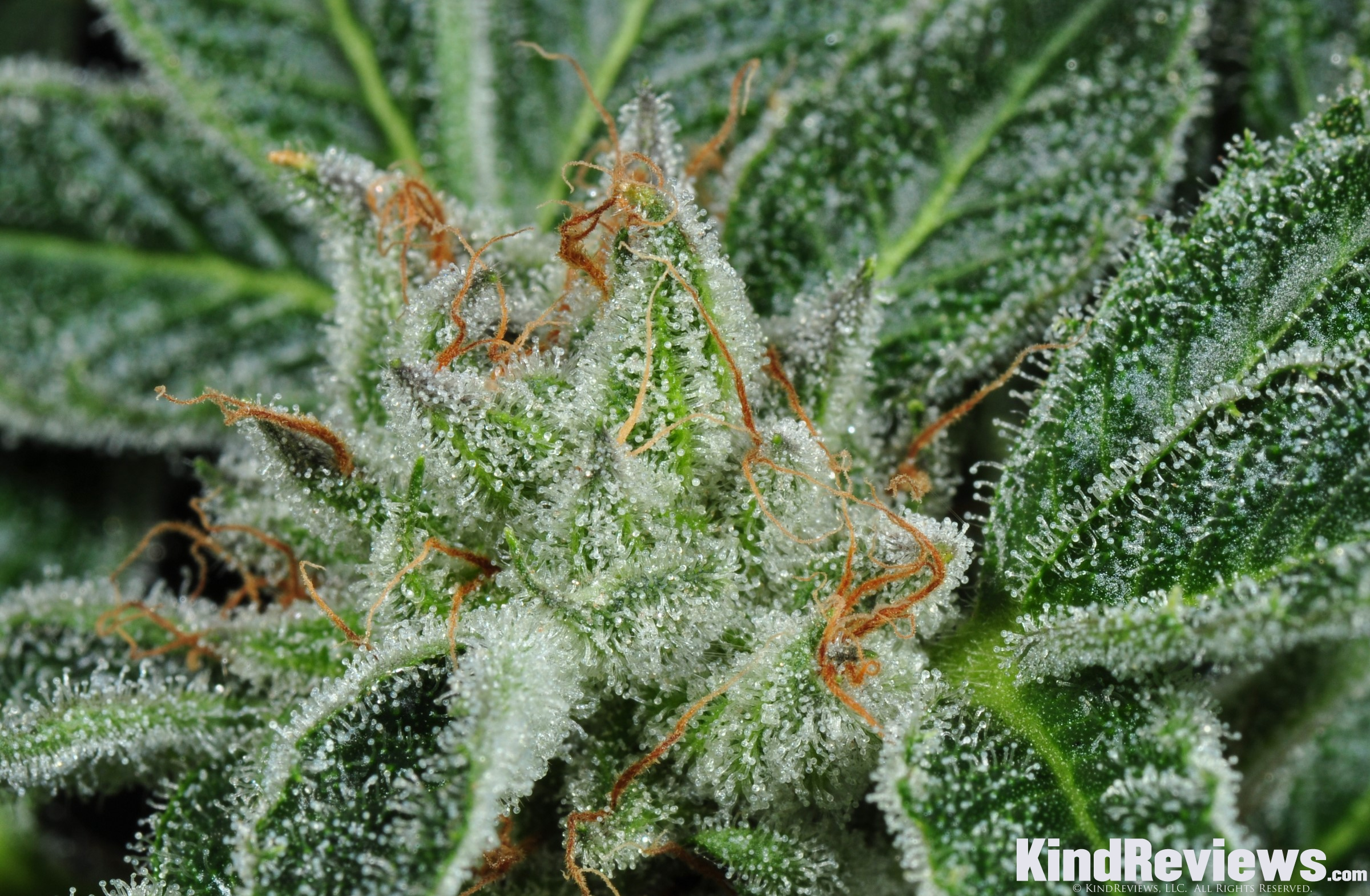 Marijuana Strain Profiles | PotGuide com
