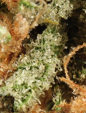 Agent Orange | Marijuana Strain Library | PotGuide com