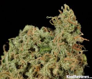 Durban Poison | Marijuana Strain Library | PotGuide com