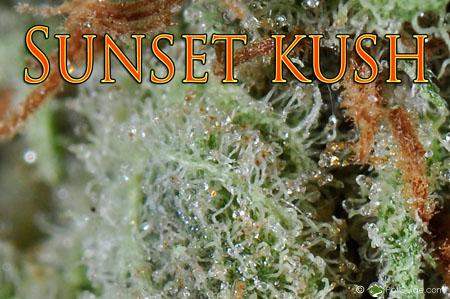 Sunset Kush   Marijuana Strain Library   PotGuide com