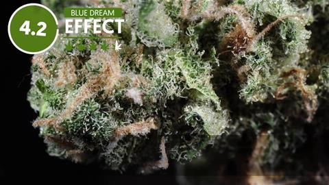 Strain Profile: Blue Dream
