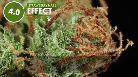 Strain Profile: Strawberry Haze