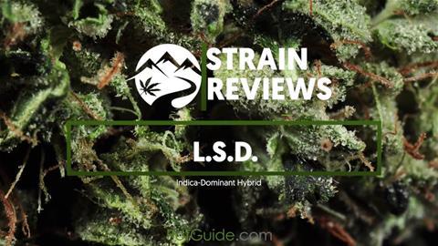 Strain Profile: L.S.D.